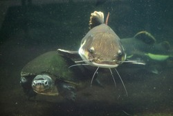 Redtail catfish (Phractocephalus hemioliopterus) and Malaysian giant turtle (Orlitia borneensis), also known as the Bornean river turtle. Wild life animal.