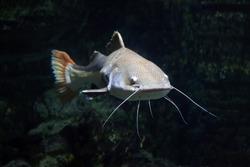 Redtail catfish (Phractocephalus hemioliopterus). Freshwater fish.