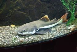 Redtail catfish (Phractocephalus hemioliopterus) in the aquarium