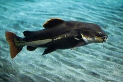 Redtail catfish (Phractocephalus hemioliopterus). Wild life animal.