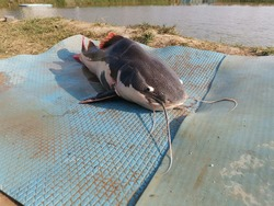 Redtail catfish that can be hunted