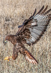 Redtail Hawk diving on prey