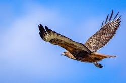 Redtail hawk flying in blue sky