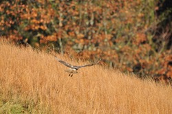 Redtailed hawk hunting