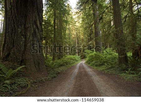 Redwood Forest Country Road. Unpaved Road Through Redwood. Northern California Redwood Forest, USA. - stock photo