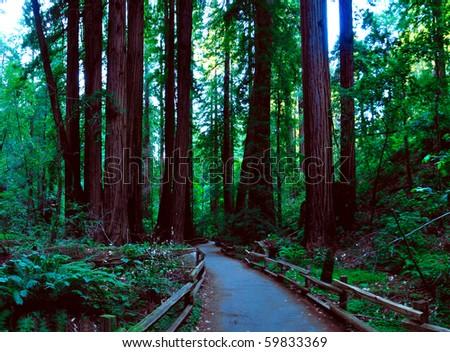 redwood forrest