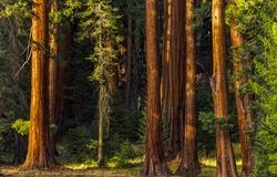 Redwood grove scene. Sequoia tree trunks. Sequoia tree trunks view. Sequoia redwood grove tree trunks