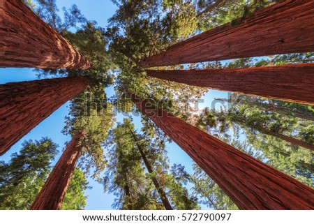 Redwood Tree in Sequoia National Park, California.
