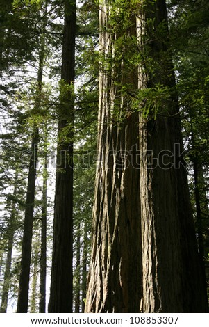 redwood tree, Redwood National Park, California, USA - stock photo