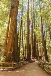 Redwood trees and trail in Muir Woods National Monument, California. USA