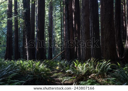 Redwood trees grow near the coast in Northern California. Redwoods are some of the tallest trees on Earth but grow extremely slowly. They have been logged extensively over time.
