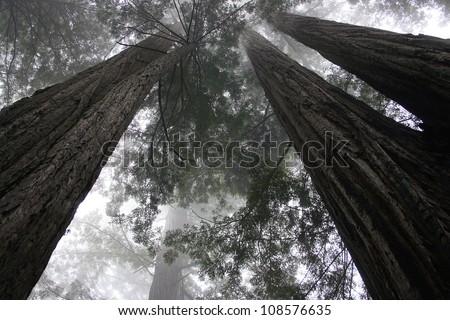 redwood trees, Redwood National Park, California