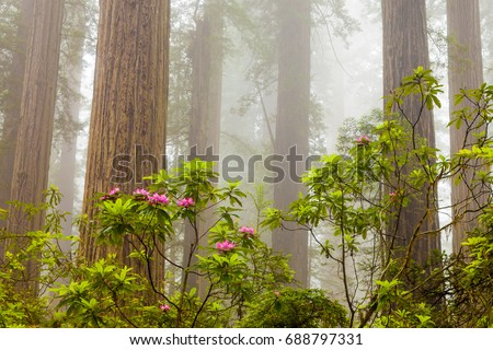 Redwoods and rhododendrons along the Damnation Creek Trail in De