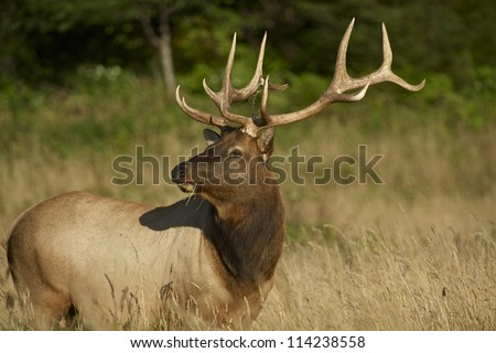Redwoods Elk. Northern California Wildlife Photo Collection. Adult Elk.