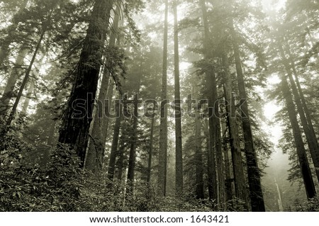 Redwoods in the fog, Lady Bird grove, Redwood national park, California