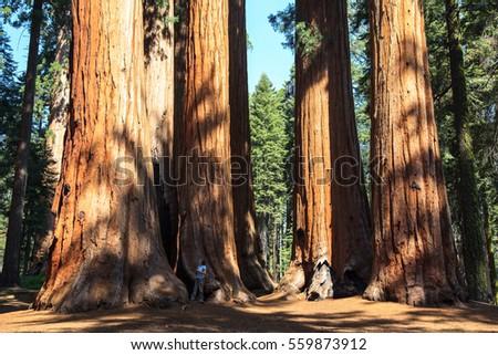 Redwoods of Giant Redwoods National Park California. U.S