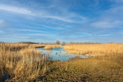 Reed beds in a swampy area in the Netherlands. The photo was taken on a sunny winter day near the village of Poederoijen, municipality of Zaltbommel, province of Gelderland.