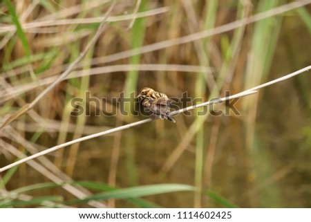 Reed bunting on a reed stem #1114602425