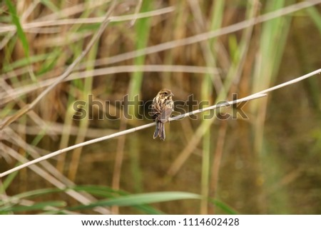 Reed bunting on a reed stem #1114602428