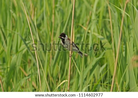 Reed bunting on a reed stem #1114602977