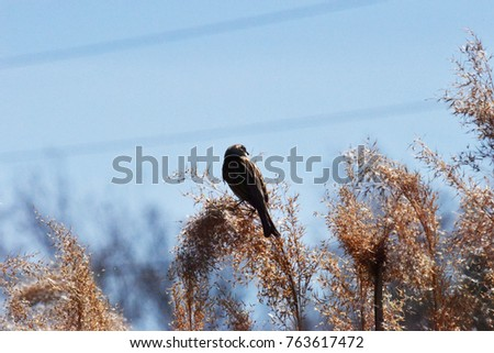 Reed Bunting on reed, Bromma, Sweden #763617472