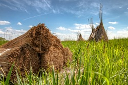 Reed drying for roofing near the lake with pyramid reed stacks on the fields in the marshlands of holland. In the background clear blue sky with white pile wicks and fresh spring colors