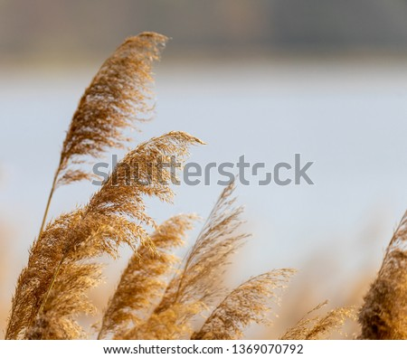 Reed grass in bloom, scientific name Phragmites australis, deliberately blurred, gently swaying in the wind on the shore of a pond, Wind