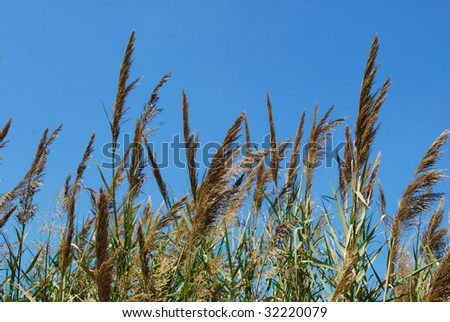 Reed grass with blue sky background