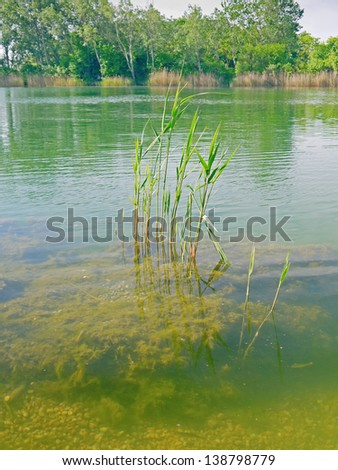 Reed in a swimming lake