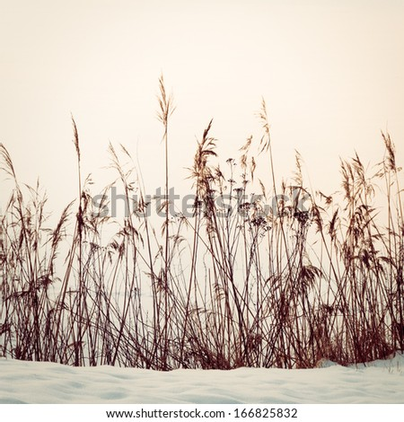 Reed in snow, vintage toned image