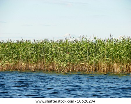 Reed in water