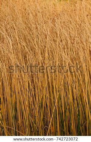 Reed on background, pattern reed backround. #742723072