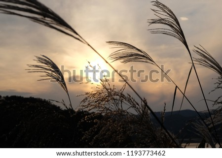 Reed, Reed forest, Reed and evening glow, sunrise #1193773462