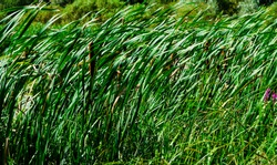 reed seeds. reed grass in the fall in the sun. Abstract natural background. Closeup image. reed grass close up macro texture backgound