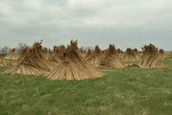 Reed sheaves near Lake Velence