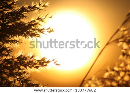 Reed Silhouette Sunset