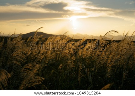 Reed standing in the golden sunset from its behind #1049315204