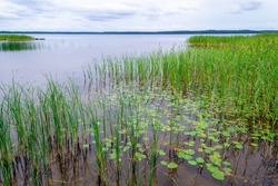Reeds and water lily along the shore of Usmas lake in Latvia. Beautiful natural landscape. Summer lake on evening before sunset in Latvia.