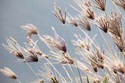 reeds grass.