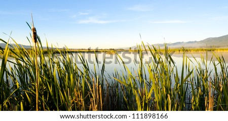 Reeds in marshland
