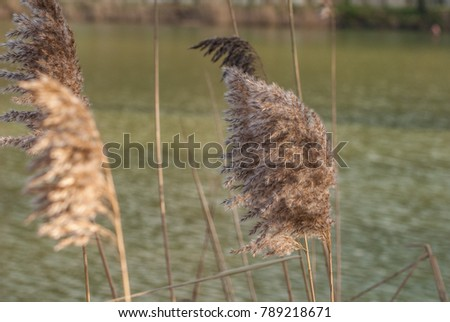 reeds in the lake, reeds in the pond #789218671