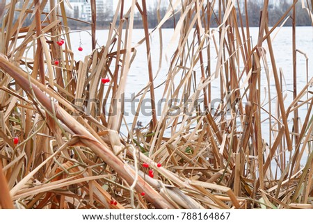 Reeds in the lake, Swaying Reed background for web site or mobile devices #788164867