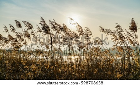 Reeds in the rive/Swaying Reed-2 #598708658