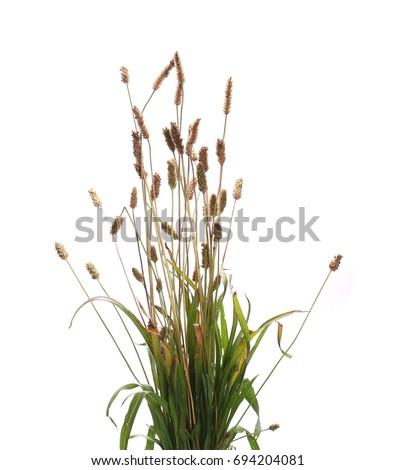 Reeds isolated on white background
