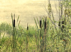 Reeds on the lake shore. Morning on the shore of a forest lake, reeds and tall grass against the background of the water surface and fog rising above the water, yellow warm color. Without people