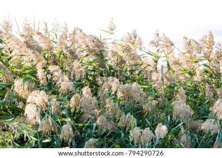 reeds on the river Bank. Marsh plant, the common reed. Phragmítes austrális #794290726