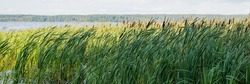 reeds on the water in the lake in nature.water plants at summer day.Beautiful lake with wild green plants. On the shore grow trees and reeds.Beauty of natural world. Eco-friendly landscape.Web banner