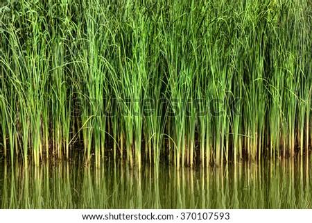reeds/reeds/reeds upon the wter #370107593