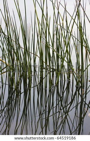 Reeds reflecting on water