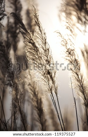 reeds silhouette behind the sun